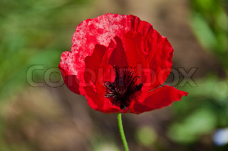 Closeup of red poppy flower against blurred background