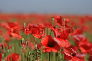 field with beautiful red flowers from the czech republic