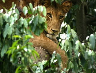 a Lion resting in a tree in Uganda Africa