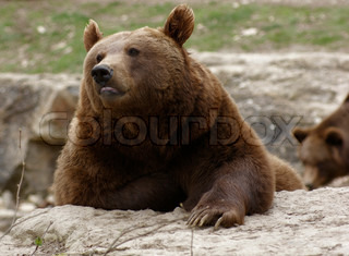 resting Brown Bear on the ground