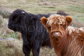 brown and black Highland cattle