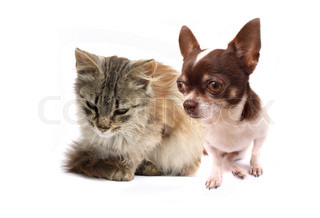 chihuahua and her friend on the white background