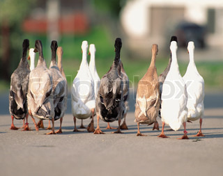 Different Geese go on road nice shot