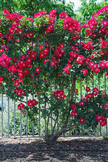 A beautiful rose bush adorningthe fence