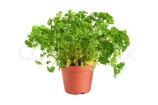 Gardening parsley tree in small pot on white backgroundin