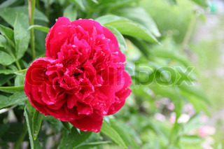 beautiful red peony with drops of dew
