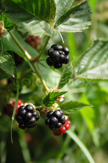 nice fresh blackberries with the green leaves