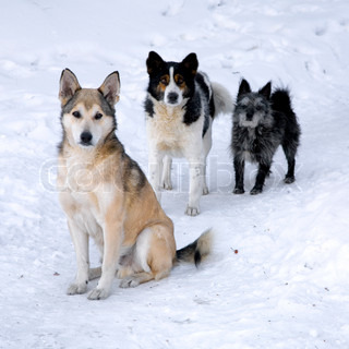 Three homeless dogs, different breed, posing frosty morning