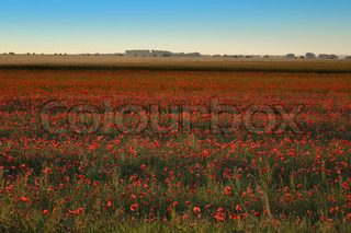 poppy flower field and blue sky as nice natural background