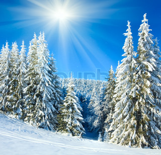 winter calm mountain landscape with rime and snow covered spruce trees and snowfall