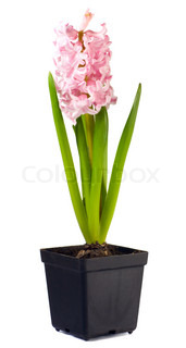 Spring holiday pink hyacinthus plant with flowers in flowerpot isolated on white background