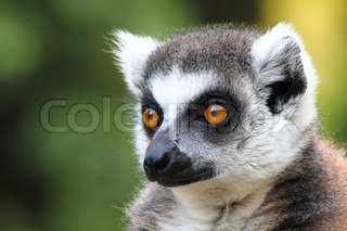 head of lemur monkey with the yelow eyes