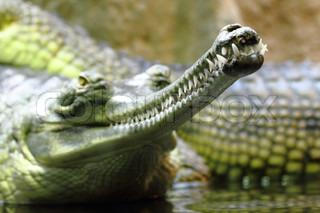 Detail der Alligator Kopf als sehr schöne Tier Hintergrund