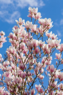 Blossoming twig of magnolia-tree on blue sky with cloud background