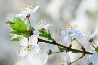 white blossoming twig of