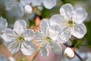 Blossoming twig of cherry-tree macro, on blossom tree background