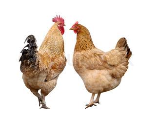 Billede af 'høne, økologi, kopi'