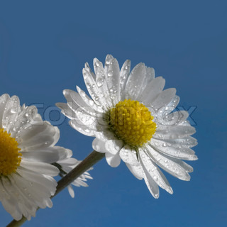 daisy flowers with water drops in blue back