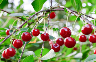 Twig of cherry-tree with red cherries Composite photo with considerable depth of sharpness
