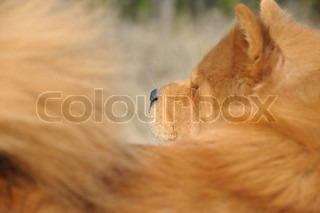Dog close up Breed of Chow-chow A photo on outdoors
