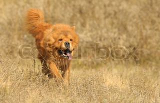 Running dog Breed of Chow-chow A photo on outdoors