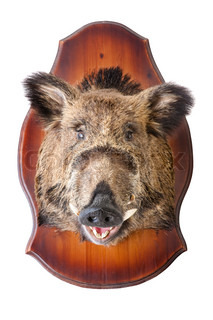stuffed wild boar head on white, taxidermy