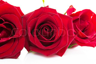 beautiful red roses and petals isolated on white