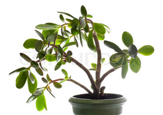 Potted home plant Crassula jade isolated on white This plant is known to be a great wealth luck feng-shui symbol or dollar tree