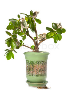 Potted home plant Crassula with dollar bills in flower form isolated on white This plant is known to be a great wealth luck feng-shui symbol or dollar tree