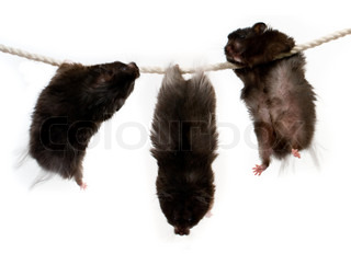 Three hamsters on a rope
