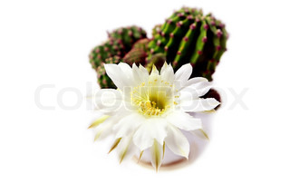 beautiful white cactus flower over white