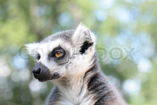 very nice lemur monkey in the jungle