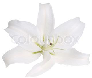 Flower hvid lilje på en hvid