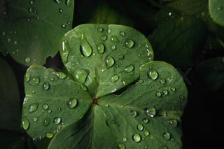 fresh green leaf and water drops as nature texture