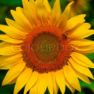 beautiful sunflower top view with bee