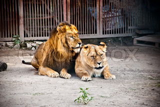 lion and lioness lying in the zoo