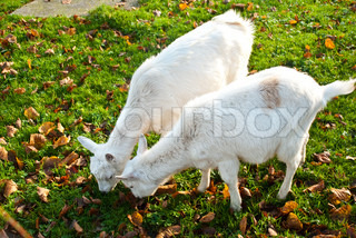 two white goats eating grass