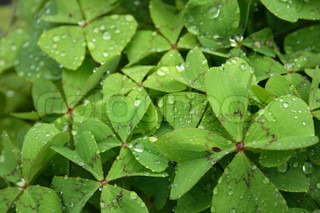 big fresh water drops on the green leaves