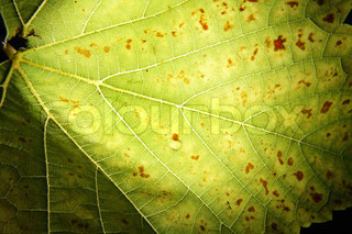 leaf texture with the light behind this