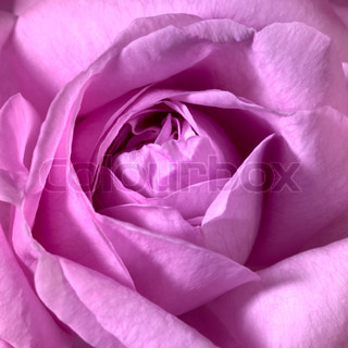 full frame closeup studio photography of a pink rose