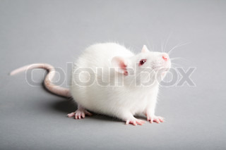 white laboratory rat isolated on grey background