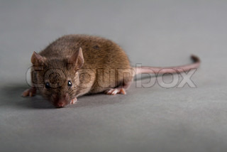 agouti laboratory mouse isolated on grey background