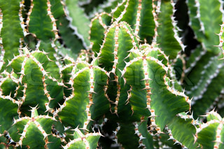 Green and White Cactus on Lanzarote, Canary Islands, Spain