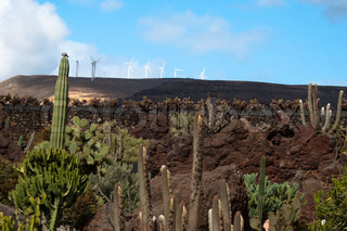 Garden of Cactus on Lanzarote, Canary Islands,Spain with wind turbines in the background