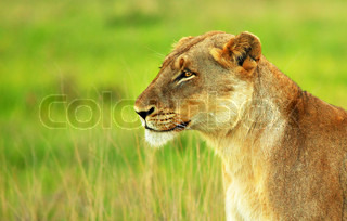 Beautiful wild African lioness portrait, game drive wildlife safari, animals in natural habitat, Eco travel and tourism, nature of South Africa, Kruger national park, Sabi Sand