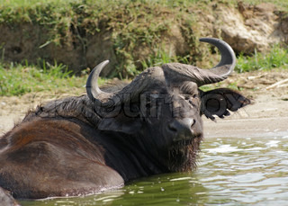 waterside scenery with a African Buffalo in Uganda Africa taking a bath
