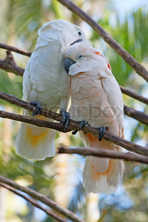 Birds in love: Pair of cockatoo on the tree