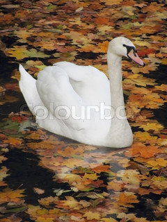white swan swimming in an autumnal lake