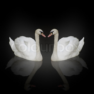composition of two white swans with reflections