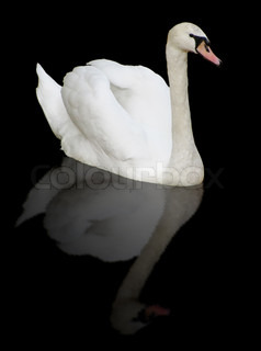white swan with reflection over black